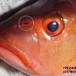9月10日 深浦釣行 「バラフエダイ」中毒を起こす魚だそうです。