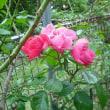 ひっそうりと咲いてます。 ツルバラのアンジェラ