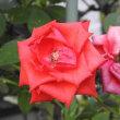 秋に咲いたアーモンドの花と秋の赤のバラ