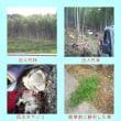 タケノコ収穫