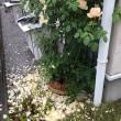 バラの花をカット