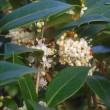 ヒイラギの白い花 @野々池貯水池