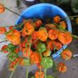ホオズキの植え替え。お盆には飛ぶように売れたホオズキ、2018年のホオズキ栽培に向けて…