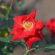 神代植物公園で咲くいろいろな「秋バラ」(その2) !!