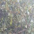 金木犀咲き始める-気分だけでも秋