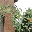 ミニトマトの茎軒下まで
