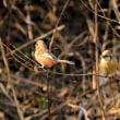 今日の野鳥   メジロ ・ ベニマシコ ・ コミミズクとハイイロチュウヒの雌 ・
