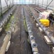 越冬トマトの定植