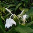 ジンジャーの花