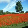 花の丘のサルビア