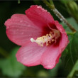 しっとり濡れた芙蓉の花