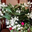 満開になったギンギアナムの花