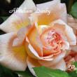 薔薇の園  * 2018 *  Vol.2 * アブラハム ダービー *