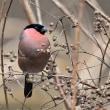 今日の野鳥  ルリビタキ ・ ミヤマホオジロ ・ ウソ ・     写真展のご案内
