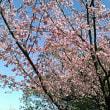 大丸用水の桜