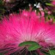梅雨の中合歓の花が沢山咲いています・・・鹿児島の風景