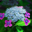 高幡不動の紫陽花NO2