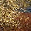 半田山植物園の蝋梅