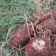 白菜の苗を菜園に~里芋とサツマイモの試し掘り