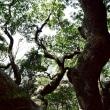 熊野古道 石畳道の巨木