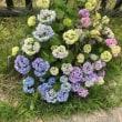 ✨紫陽花の花咲き始めてきました✨