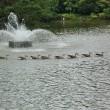 「大池親水公園」で鴨ウオッチ。