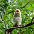 フクロウの雛