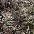 【京都園芸倶楽部Facebook】先週の植物(2018年3月11日〜17日)