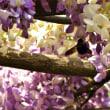 桜に続きまして、