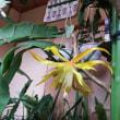 クジャクサボテン五鉢が咲いている