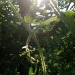つる植物の産毛✨