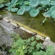 上野、不忍池の蓮。