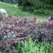 紫蘇穂を採取