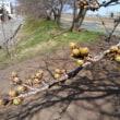 2018 私的桜開花標準木 その23