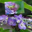 花彩々  小雨と紫陽花