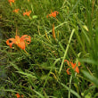 そろそろ、秋の気配か・・・、アキノワスレグサの花