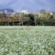 いなべ市丹生川の蕎麦畑へ再び・白い彼岸花も