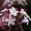 季節の花「羽衣ジャスミン(はごろもジャスミン)」