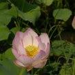 猛暑の夏に明るいこの世の花