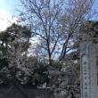 我孫子観音の冬咲き桜