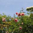 ☆きょうの庭バラ 5/20 ノバーリスetc