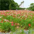 ネギボウズと麦の収穫近し(長居植物園)