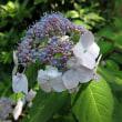 向島百花園の紫陽花