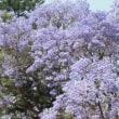 南アフリカ、ジャガランタの満開の花を見る