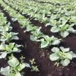 定植する野菜が楽しいなあ