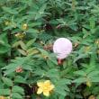 ウォーキング途中で見かけた花