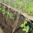玉ネギと実エンドウ定植
