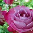 薔薇の園  * 2018 *  Vol.45 * ブルーリバー * 2 *