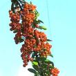 ピラカンサスというオレンジ色の実