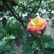 バラ・チャールストンも 咲いてます。